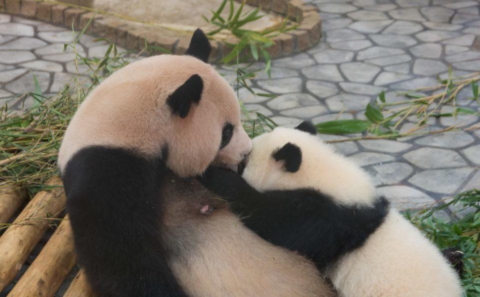 春休み、卒業旅行でかわいいパンダが見たい!「南紀白浜」